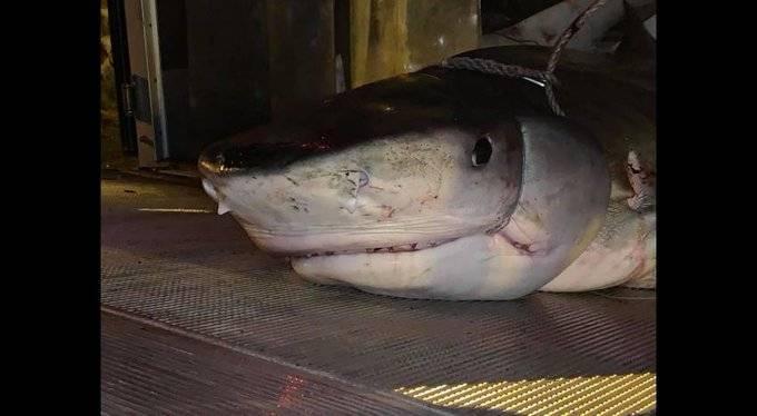 Encuentran brazo de turista en estómago de tiburón