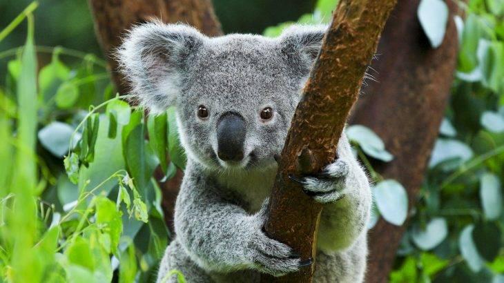 Incendios forestales australianos arrasan con la mitad de una colonia de koalas