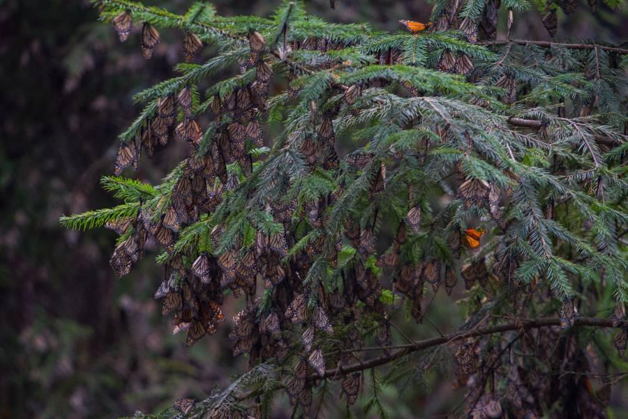 El santuario de la mariposa monarca en Michoacán abre sus puertas