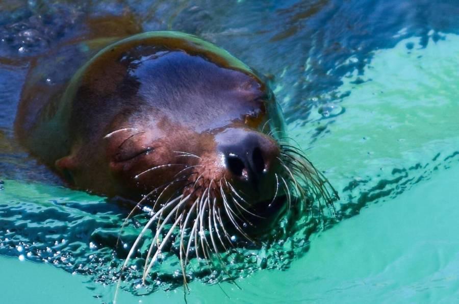 Zoológico de Morelia anuncia muerte de Loba Marina
