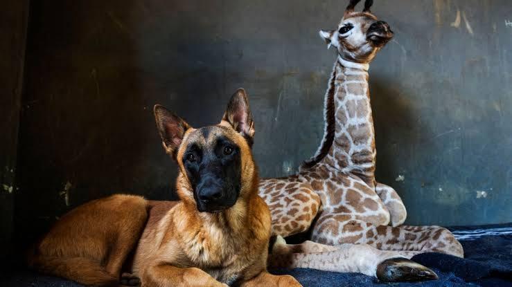 "Muere ""Jazz"", pequeña jirafa adoptada por un perro"