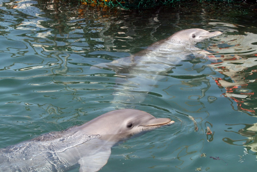 Sorprendente delfines tan diestros como los humanos