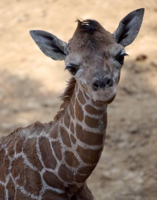 Presentan oficialmente a bebé jirafa en el Zoológico de Chapultepec