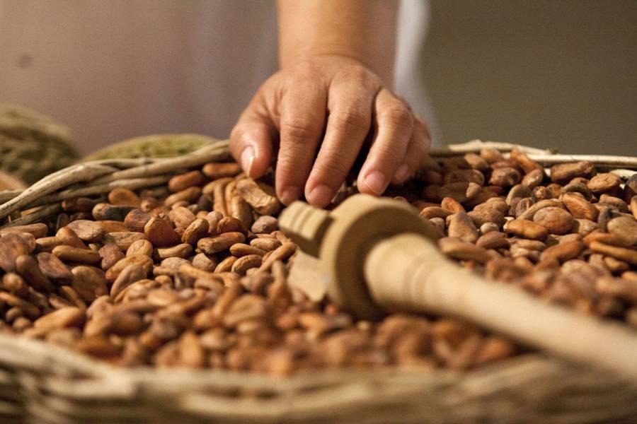 Mexicanos desarrollan variedad de cacao tolerante a enfermedades