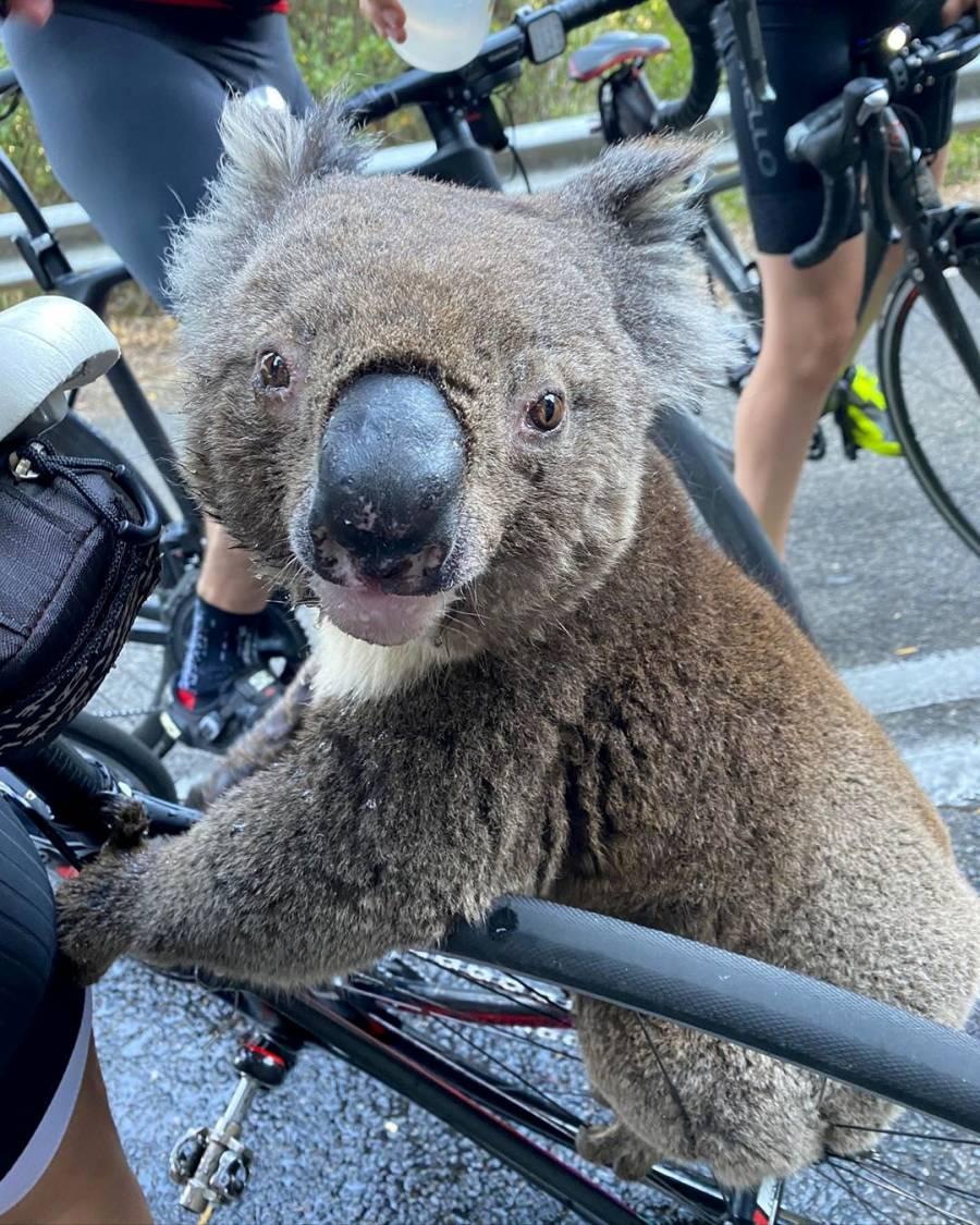 Jóvenes rescatan a grupo de koalas durante incendio en Australia