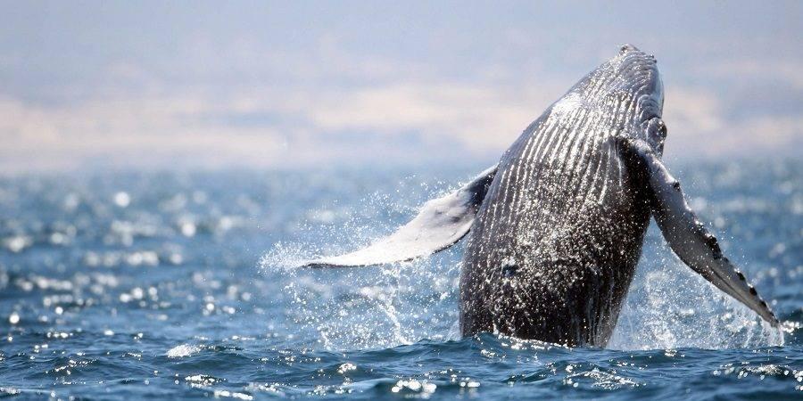 52 ballenas grises, resultado del primer censo de la temporada de avistamiento