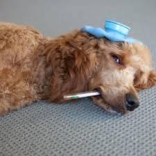¿El coronavirus se presenta en mascotas?