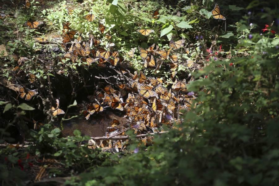 Encuentran sin vida a guía de santuario de la mariposa monarca