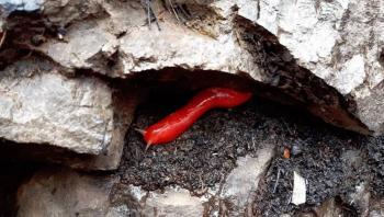 Sobrevive la babosa rosa a incendios en Australia