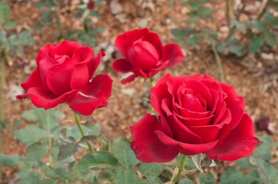 Los productores nacionales de flores ya están listos para recibir el 14 de febrero