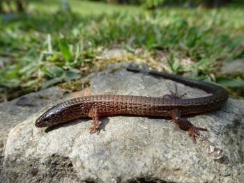 Reportan avistamiento de lagarto en peligro de extinción en Medellín