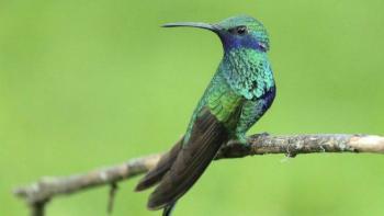 Alistan más jardines urbanos para colibrí en la CDMX