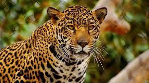 El nuevo billete de mil pesos contendrá al jaguar, Calakmul y Antigua Ciudad Maya
