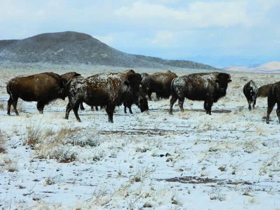 Después de 100 años bisonte americano vive naturalmente en las planicies de Coahuila