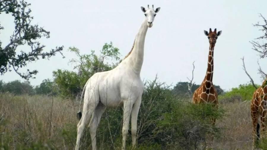 Cazadores matan a la única jirafa blanca de Kenia
