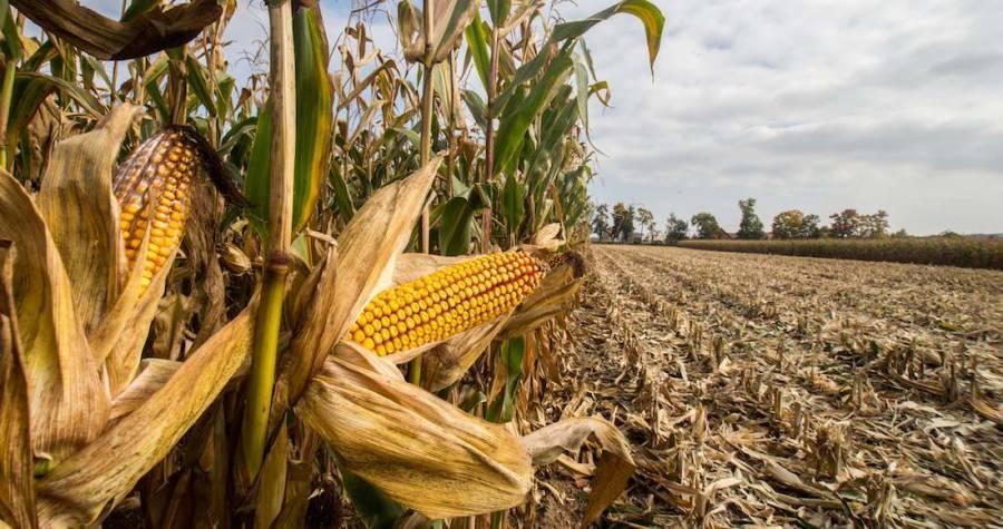 Se mantiene producción de maíz en Guerrero durante 2019: Agricultura