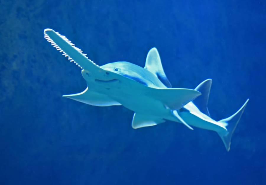 Científicos descubren dos nuevas especies de tiburones
