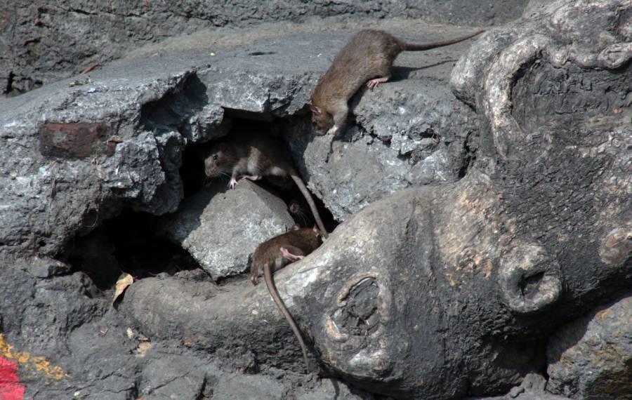 En China muere una mujer por hantavirus