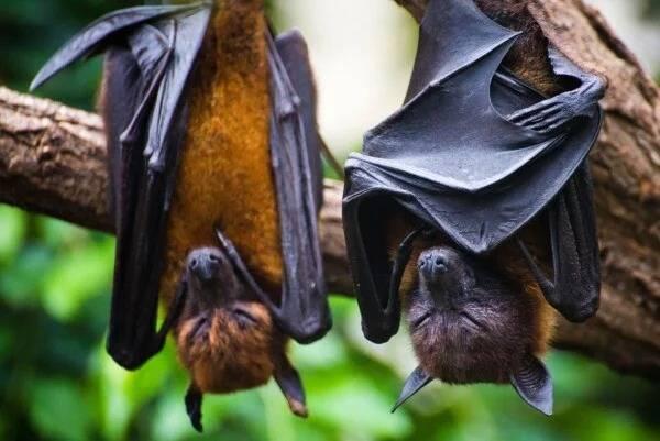 Atacan a murciélagos en Perú por miedo a coronavirus
