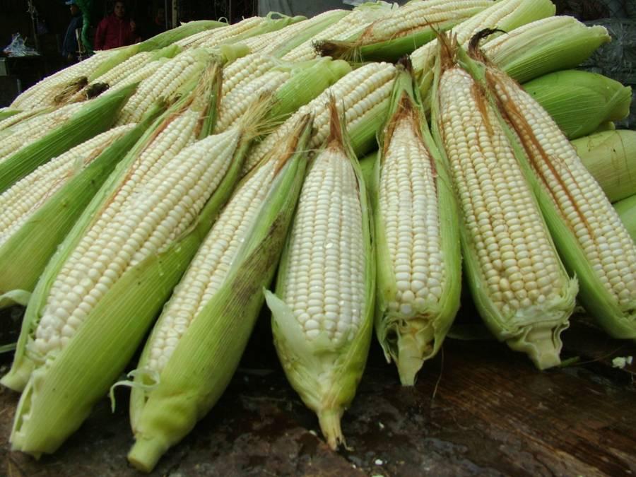Apoyos para productores de maíz en Sinaloa, Sonora y Tamaulipas