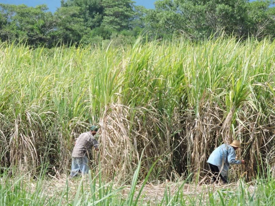 Desarrolla Colpos mejora de semillas de caña de azúcar
