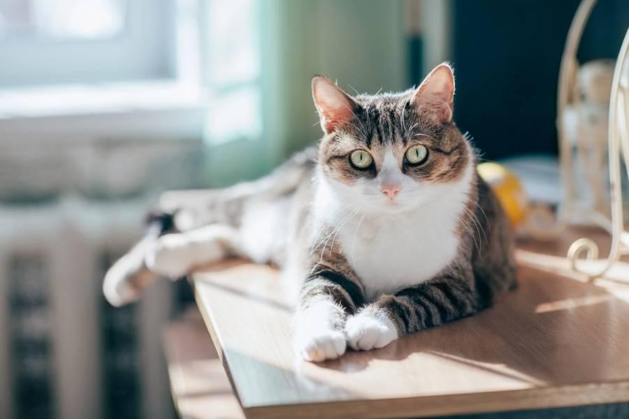 Contamina a su gato con coronavirus en Bélgica al regresar de Italia