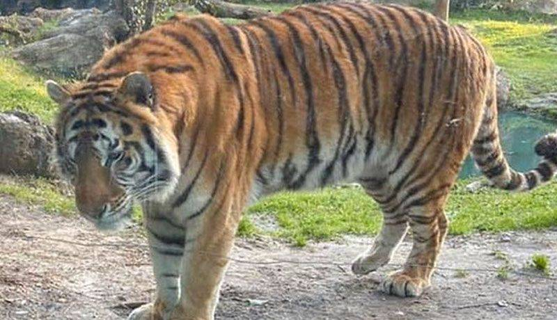 Tigre de zoológico de Nueva York da positivo a Covid-19