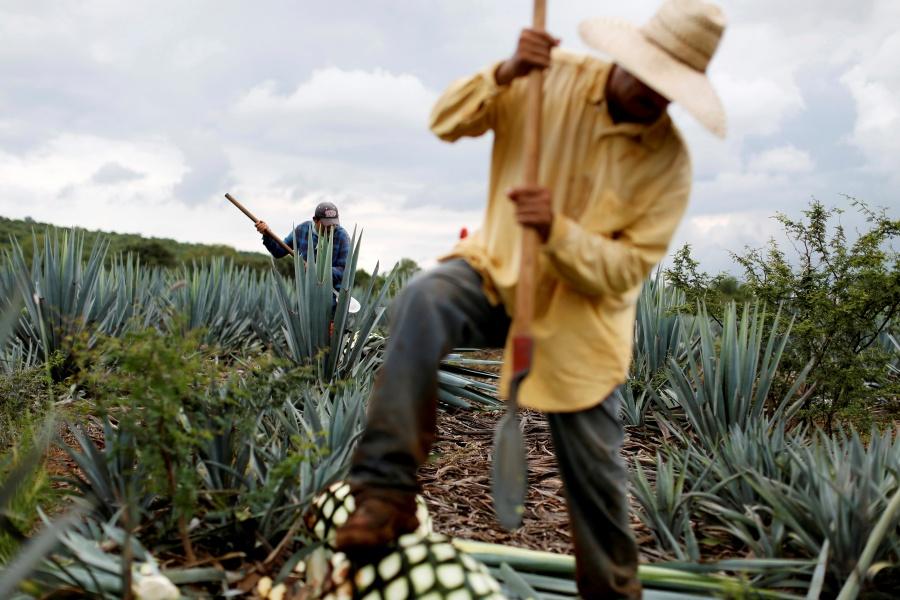 Sigue producción de tequila para EU y Canadá