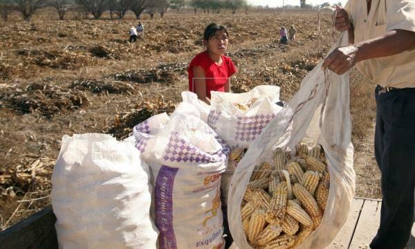19 trabajadores agrícolas mexicanos dan positivo a Covid-19 en Canadá