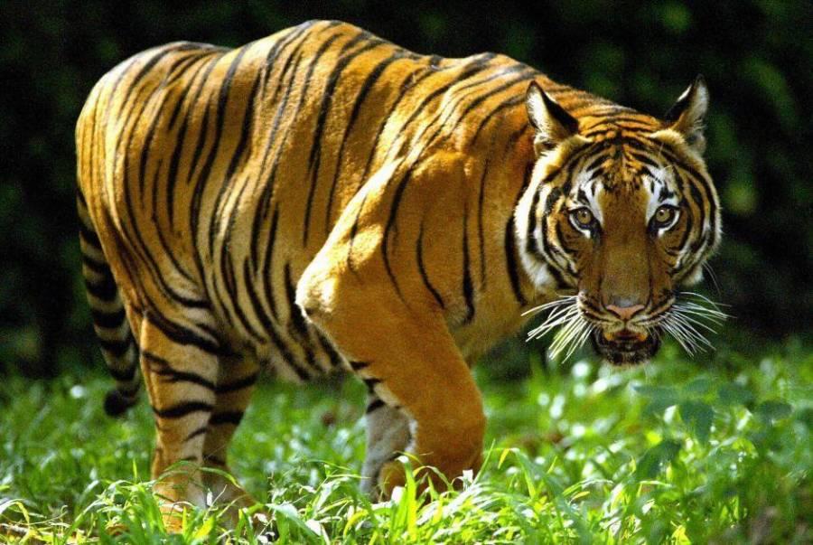 5 tigres y 3 leones infectados de coronavirus en el Zoologico de NY