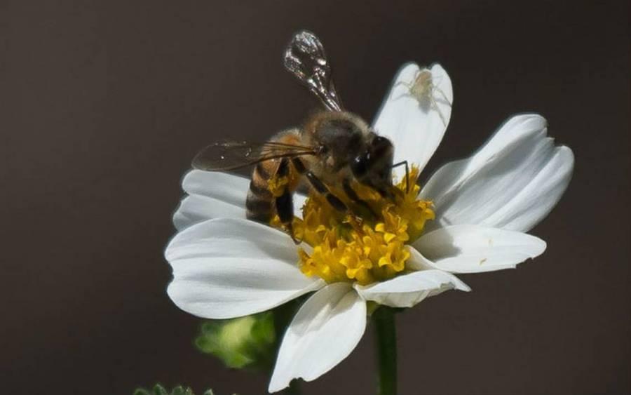 Buscan recuperar la importancia de las abejas con cortometraje