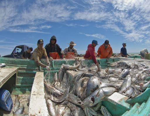 Agricultura establece volumen de captura para el curvina golfina