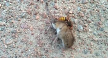 Avispas asesinas atacan a un ratón y le quitan la vida