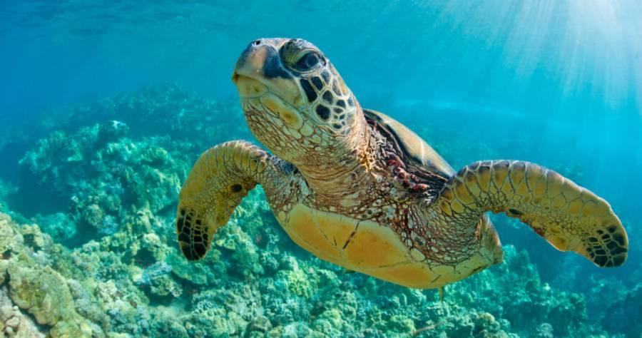 Llegan tortugas marinas a Puerto Morelos
