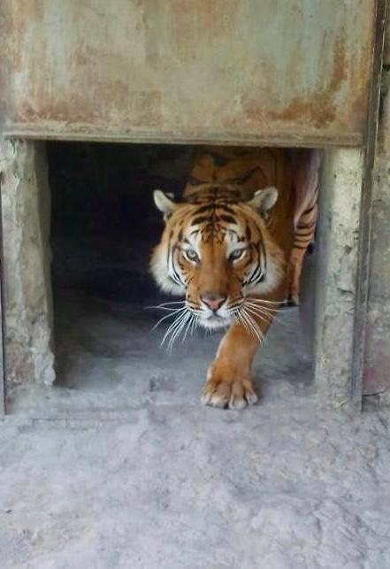 Profepa asegura tigre de bengala y oso negro en Oaxaca