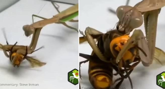 Mantis religiosa y