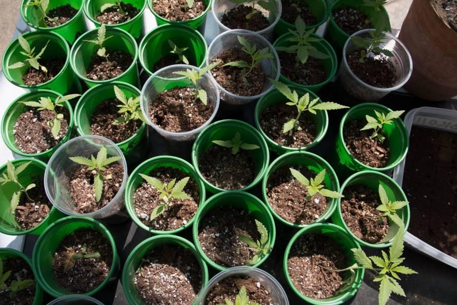La marihuana podría ser la clave para hacer frente al Covid-19, revela estudio
