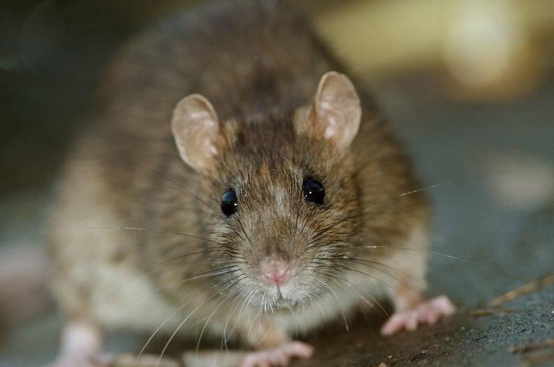 Niega gobierno capitalino plaga de ratas en el Metro