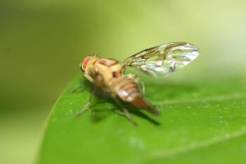 Zona de Puebla libre de la mosca de la fruta