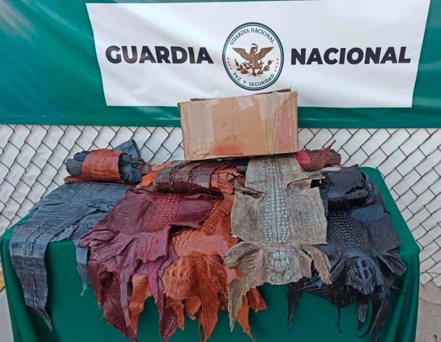 Guardia Nacional decomisó 34 piezas de piel de cocodrilo