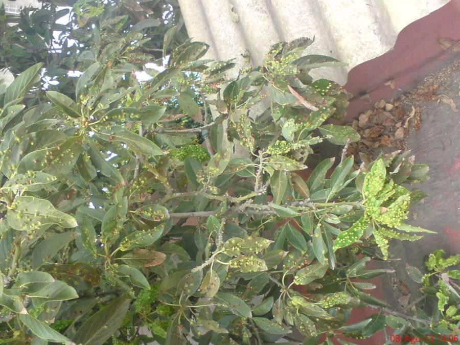Reconoce Agricultura a Taxco, Guerrero, como zona libre de plagas del aguacatero