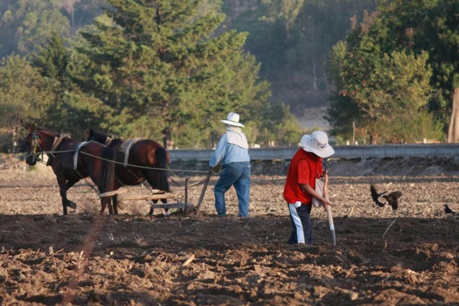 Comienza siembra de maíz para ciclo agrícola primavera-verano