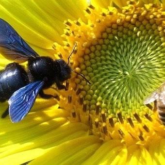 Reaparece abeja azul en Florida