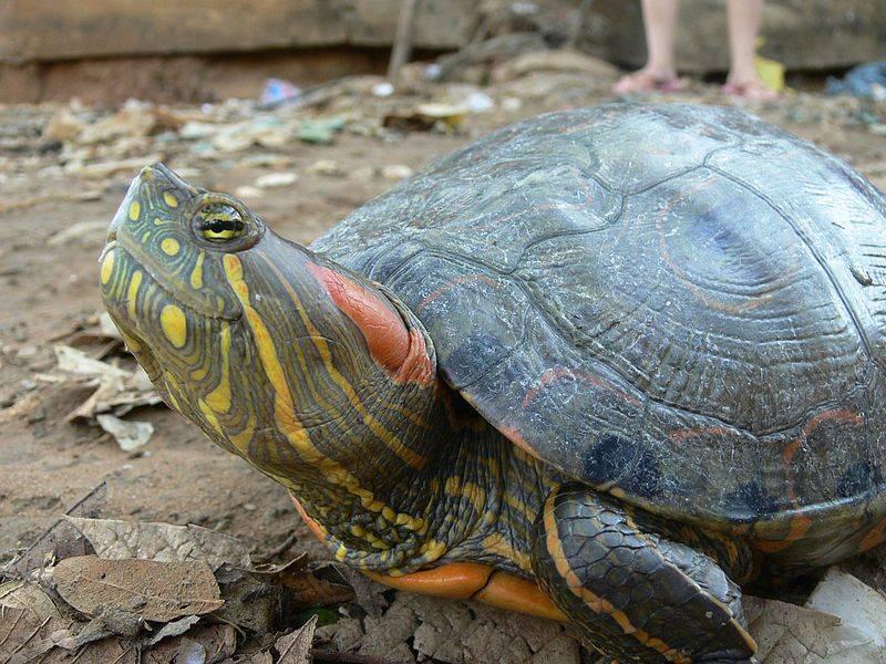 Por ingerir sangre de tortuga contra covid-19, muere bebé en República Dominicana