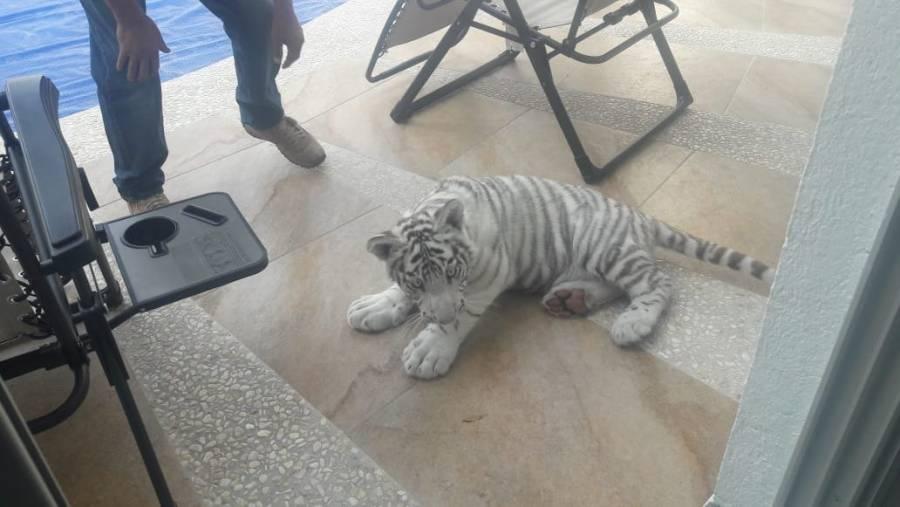 Tigre albino es capturado en calles de Querétaro