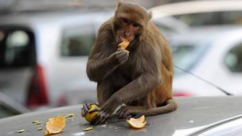 Monos roban muestras de sangre con Covid-19 en India