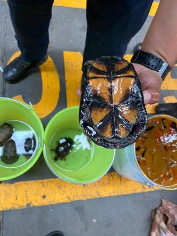 Guardia Nacional rescata cinco tortugas protegidas en empresa de mensajería de Guanajuato