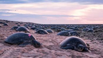 Captan a decenas de miles de tortugas nadando en Australia [Video]