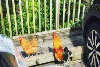 Reaparecen pollos salvajes en Nueva Zelanda