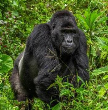 Un Rafiki menos, cazadores matan uno de los últimos ejemplares en Uganda